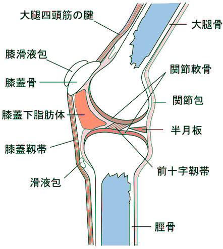 膝の構造.jpg
